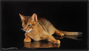Абиссинский кот Вязка Питомник абиссинских кошек sunnybunny.by #sb