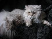 Британский длинношерстный кот Вязка Питомник британских кошек sunnybunny.by #sb