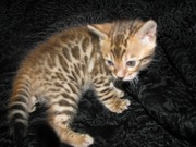 Бенгальские котята Питомник бенгальских кошек sunnybunny.by #sb
