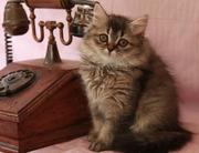 Британские котята уникальных окрасов Питомник британских кошек sunnybunny.by #sb