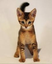 Чаузи(нильская кошка) Питомник абиссинских кошек #sunnybunny.by #sb