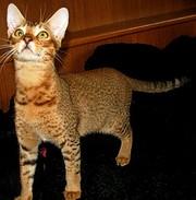 Чаузи (нильская кошка) поколение F5
