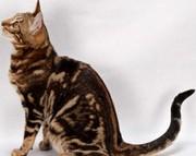 Бенгальские котята мраморного окраса